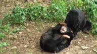 Black Bear cubs play rough. video