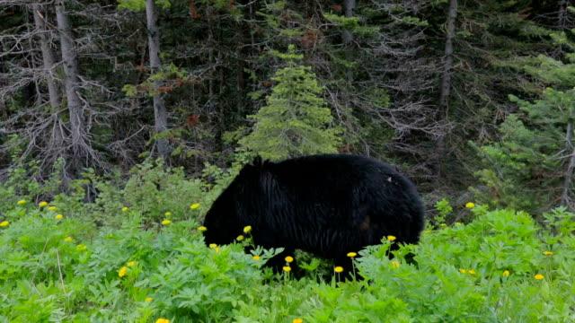 Black Bear Feeding in Meadow. video