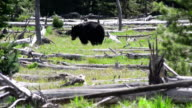 Black Bear in Teton National Park, Wyoming video