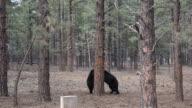 Black bears fighting video