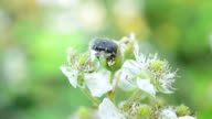 Black beetle with white spots on blackberry flowers video