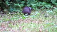 Black Bird Catch A Earthworm video