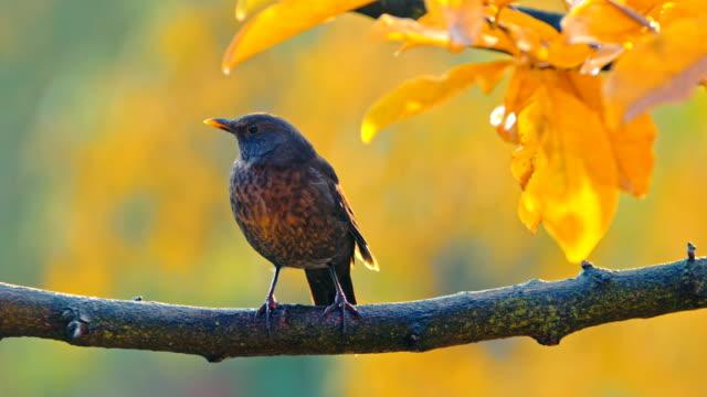 Black Bird Lady Calling On The Branch video