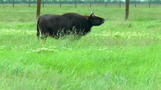 Black bull gaur in the desert to pasture video