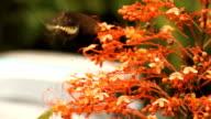 Black butterfly on a flower - Stock Video video
