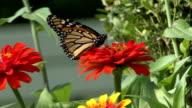 Black butterfly on an orange flower video