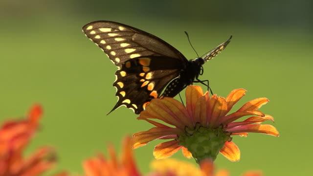 Black butterfly perching on a flower video