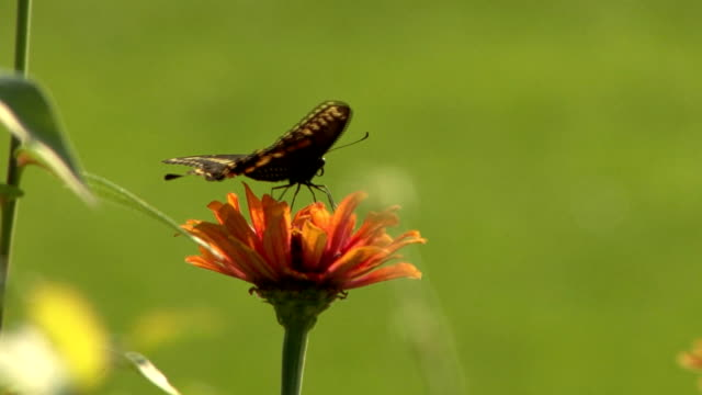 Black butterfly perching on an orange flower video