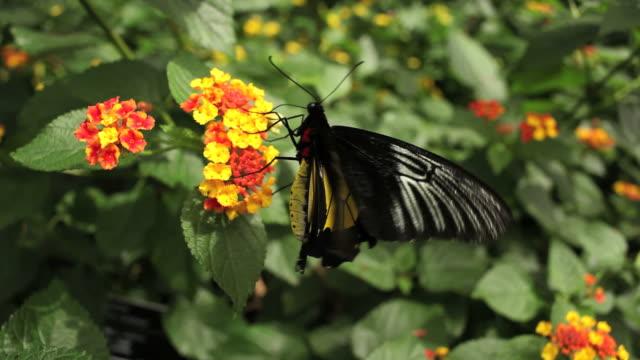Black butterfly video