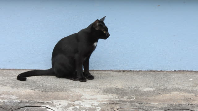 Black cat are hungry. video