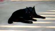black cat licking and cleaning paw video