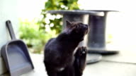 black cat scratching slow motion video