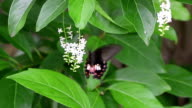 black colour butterfly video