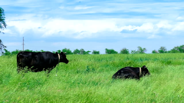 Black cows on green meadow video