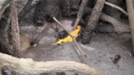 Black crabs in the mangrove forest. video