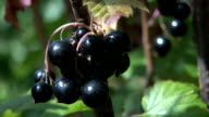 Black current bush and berries close up video