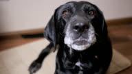 Black dog bark at home. Slow motion video