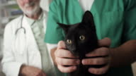 Black domestic cat at veterinary clinic video