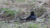 black drongo laying on the ground and fly video