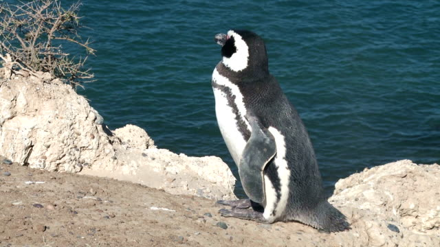 Black footed penguin video
