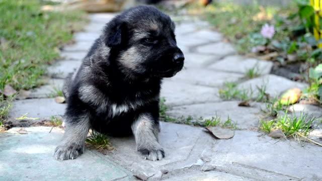 Black German Shepherd puppy video