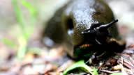 Black giant Slug macro video