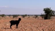 Black goat in Moroccan desert landscape video