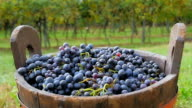 black grapes and basket with vineyards in background video