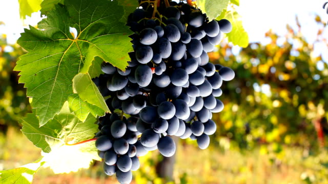 Black grapes video