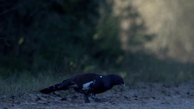 Black grouse eating stones video