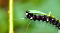Black hairy caterpillar with white spots feeding on a green leaf video