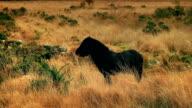Black Horse Grazing Looks Up video