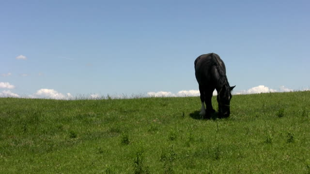 Black horse on green hill. video
