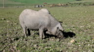 Black Iberian pig on a meadow video