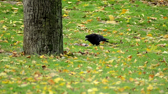 Black jackdaw searching for food video