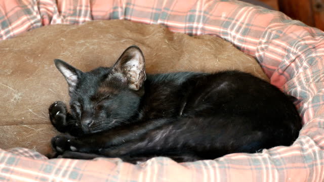 black kitten cat sleeping video