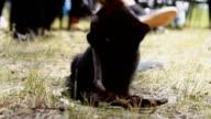 Black kitten. Playful kitten. Funny animal video