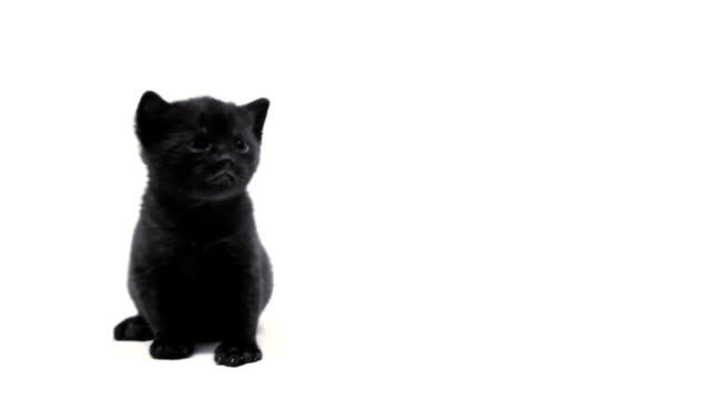 Black kitten video