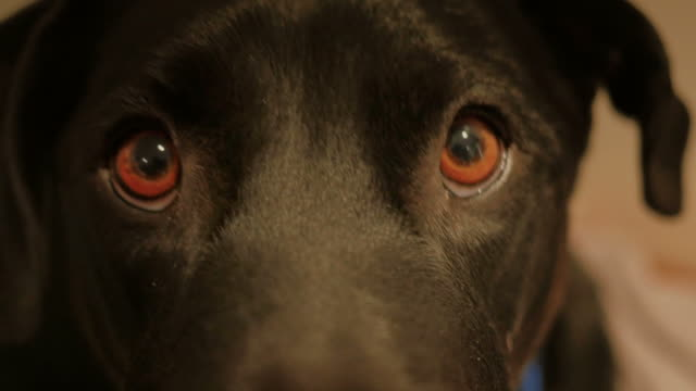 Black Lab Dog Close-up (4K UltraHD) video