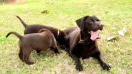 Black Labrador Retriever feeding her Puppies on the meadow video
