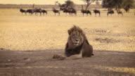 Black maned African Lion video