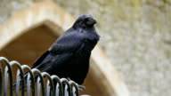 A black medium sized raven on the tower video