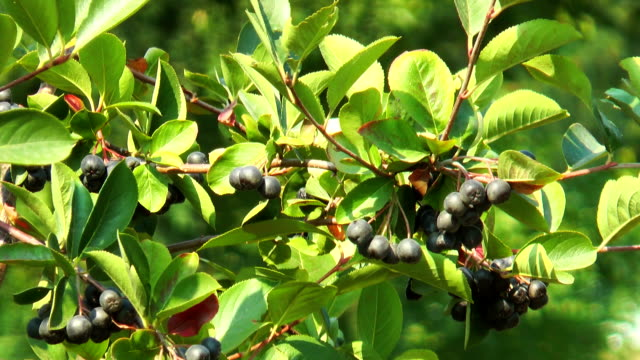 Black mountain ash berries video