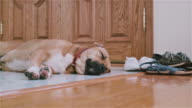 Black mouth cur dog sleeping on the floor next to the door video