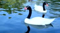 Black necked swans and ruddy shelducks swim in a pond video
