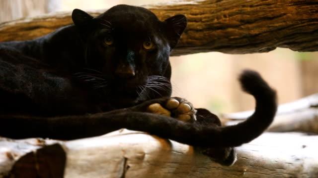 Black panther looking camera. video