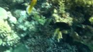 black perch dahab video