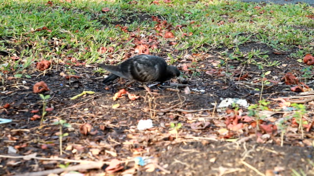 Black pigeon eating on ground video