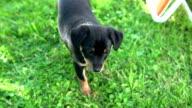 Black puppy walking towards camera video