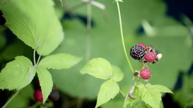 Black raspberries video